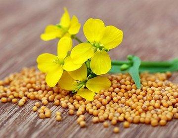 Горчица, польза и вред для организма человека, полезные свойства, химический состав и калорийность