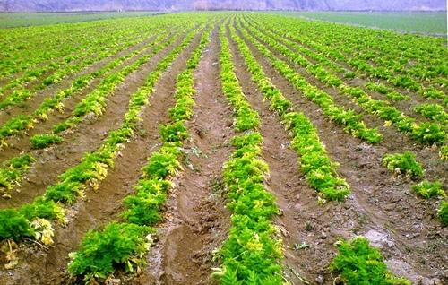 Сельдерей корневой и другие виды ароматного овоща – их особенности и характеристики — Дачники Лайф